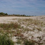 Restored shorebird nesting habitat area