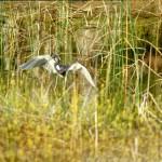 Tricolor heron (1998)