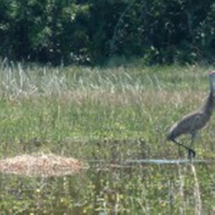 Sandhill-crane-nest-and-chick-April-2007